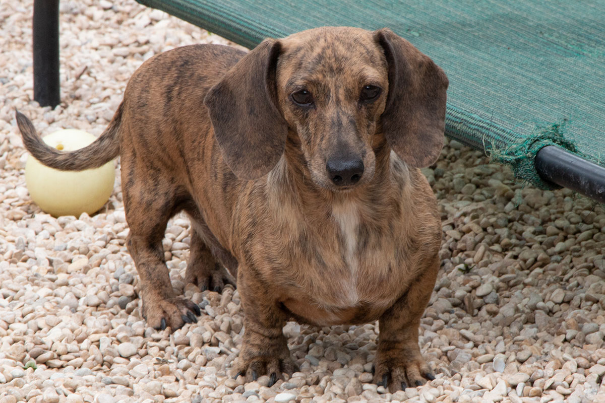 ... Cream Brindle | My Love: Dachshunds! | Pinterest | English and Cream